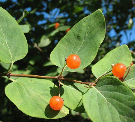 Berries Tatarian honeysuckle (Lonicera tatarica), Caprifoliaceae photo