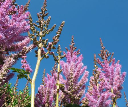 apical: Panicle astilby (Astilbe, Saxifragaceae) against the blue sky