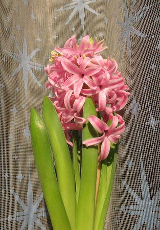 pedicel: Blooming Hyacinth east (Hyacinthus orientalis), Hyacinthaceae