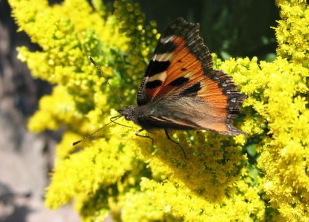apical: Daily Admiral butterfly (Vanessa atalanta), family Nymphalidae, on the flowers Solidago Stock Photo