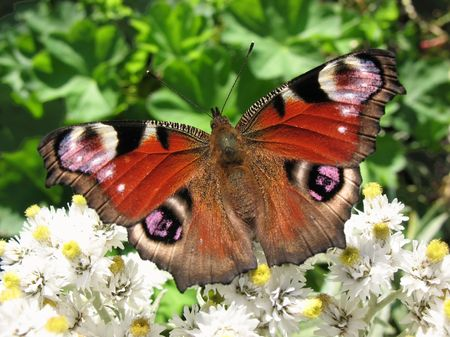 apical: The butterfly peacock (Inachis io), Nymphalidae, on the flower Anaphalis margaritacea