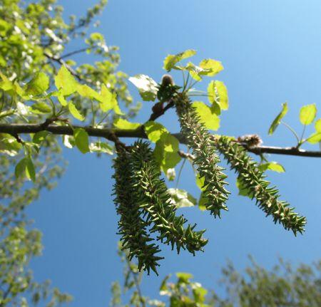Flowering aspen pine or poplar trembling (Populus tremula)