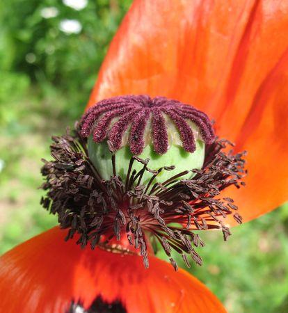 Boll oriental poppy (Papaver orientale) photo