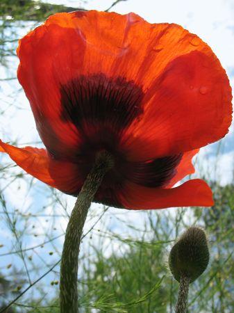 papaver: Oriental Poppy (Papaver orientale)
