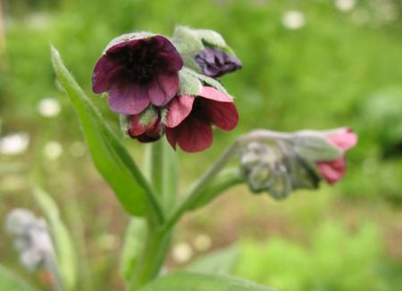 Lungwort obscure, or dark (Pulmonaria obscura) photo