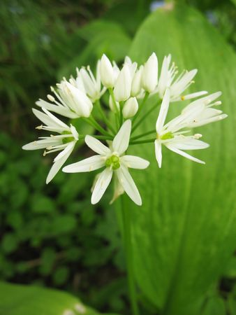 acuminate: Flowering garlic (Allium ursinum), family Onion