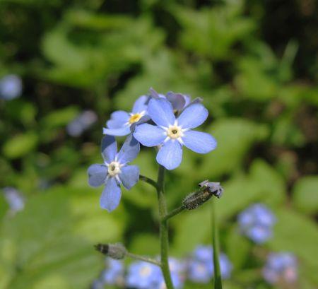 pubescent: Flowers forget-me (Myosotis)