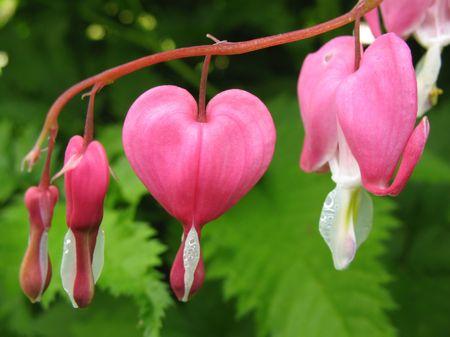 Ditsentra magnífico o Broken Heart (dicentra spectabilis), familia Fumariaceae  Foto de archivo