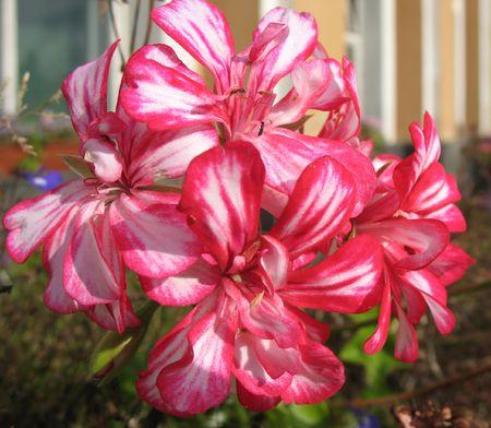 pelargonium: Pelargonium (Pelargonium peltatum),  family Geraniaceae