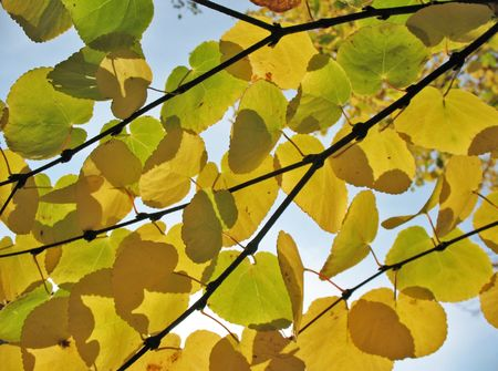 yellowing: Yellowing leaves against the sky
