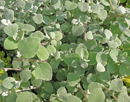 pubescent: Everlasting or immortelle pedicellate (Helichrysum petiolare). Вackground