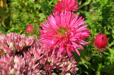 New England aster (Aster novae-angliae) and Sedum prominent, or stonecrop (sedum) photo