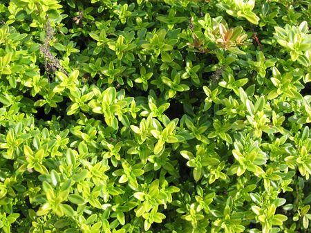 Thyme (Thymus citriodorus).  Stock Photo