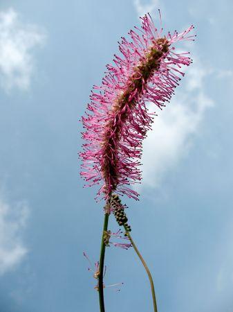 sanguisorba: Blunting burnet (Sanguisorba obtusa), the Rosaceae family