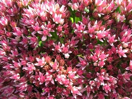 Blooming Sedum prominent, or stonecrop (sedum), family Crassulaceae