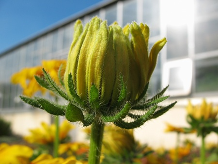 pubescent: A bud of a hybrid rudbeckia (Rudbeckia x hybrida)