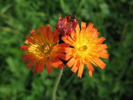 pubescent: Devils-paintbrush (Nieracium aurantiacum), family Asteraceae Stock Photo
