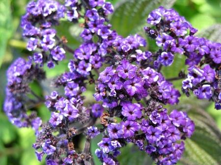pubescent: Flowering heliotrope (Heliotrpium)