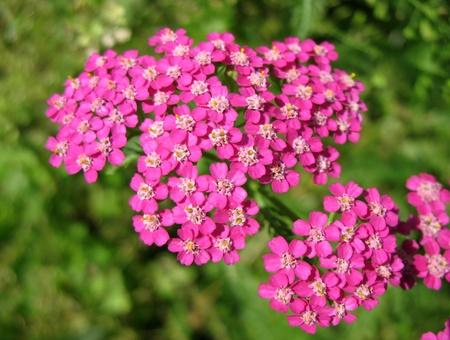 yarrow: Pink Yarrow (Achillea), family Asteraceae Stock Photo