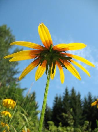 pubescent: Hybrid rudbeckia (Rudbeckia x hybrida) against the blue sky