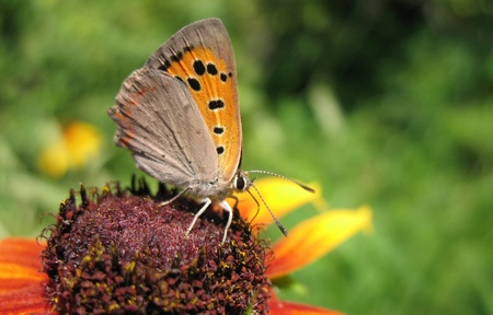 virgaureae: Butterfly Lycaena (Heodes) virgaureae on flower rudbeckia Stock Photo