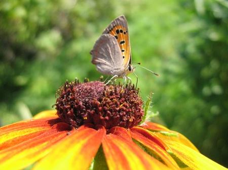 lycaena: Butterfly Lycaena (Heodes) virgaureae on flower rudbeckia Stock Photo