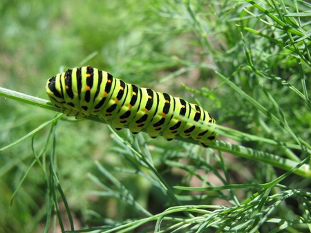 Swallowtail caterpillar (Papilio machaon), Butterflies of the family sailing on a sprig of dill photo