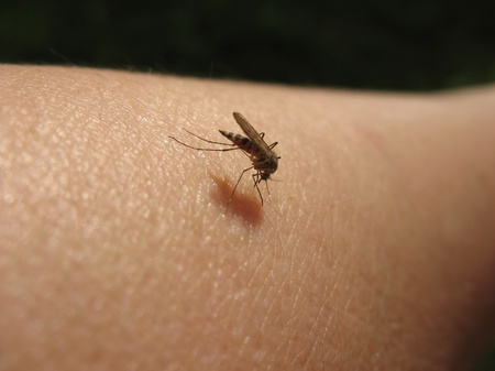 culicidae: Bloodsucking mosquitoes (Culicidae) on a victim