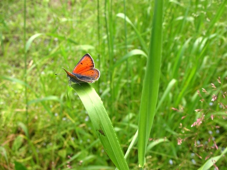 lycaena: Butterfly Lycaena (Heodes) virgaureae