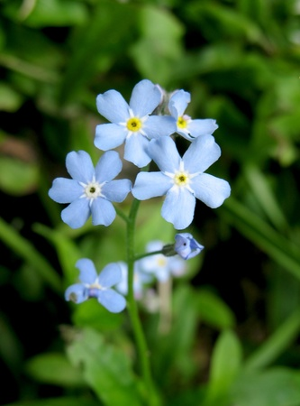 pubescent: The blue flowers of forget-me (Myosotis) in the garden