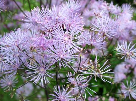 perianth: Meadow-rue (Thalictrum aquilegifolium), family Ranunculaceae, in the garden