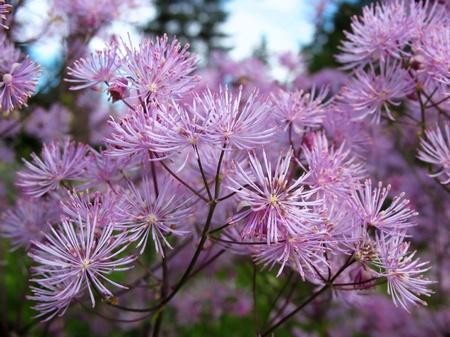Meadow-rue (Thalictrum aquilegifolium), family Ranunculaceae, in the garden