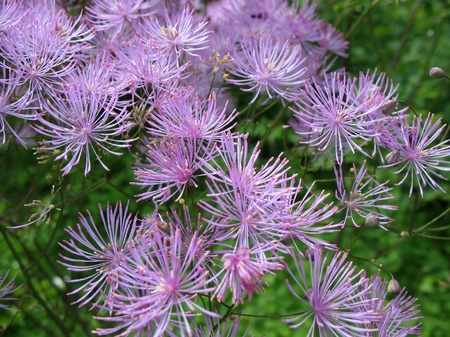 pubescent: Meadow-rue (Thalictrum aquilegifolium), family Ranunculaceae, in the garden