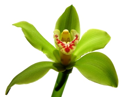 epiphyte: Blooming Orchid Cymbidium Sessa Green Beauty, family Orchidaceae Stock Photo