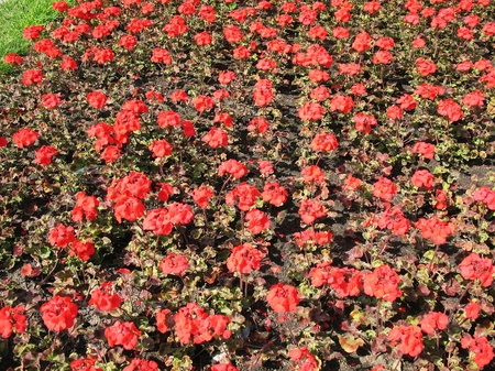 pelargonium: Zonal Pelargonium (Pelargonium zonale), Geranium family