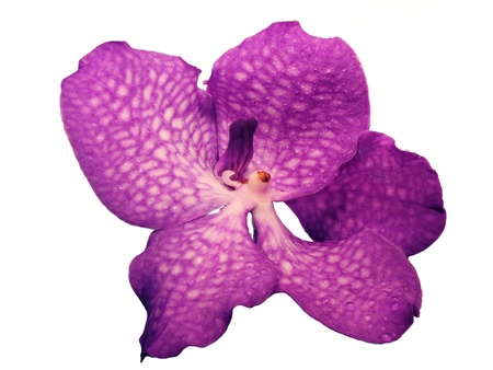 Blooming Orchid Vanda coerulea, the family of orchid (Orchidaceae).