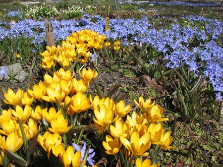 perianth: Blooming  yellow  crocus and Chionodoxa