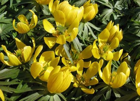 bracts large: Erantis winter (Eranthis hyemalis), family Ranunculaceae  Stock Photo