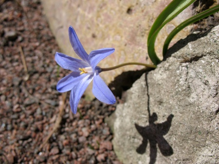 perianth: Chionodoxa, growing among rocks