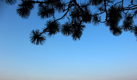 siberian pine: Branches of Siberian cedar, cedar or Siberian pine (Pinus sibirica) against the evening sky. Backlight
