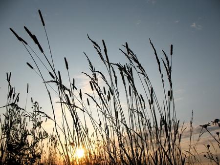 Grasses against the setting sun. Backlight Stock Photo