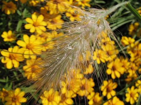 Ear Lagurus ovatus in raindrops photo