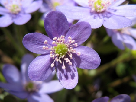 hepatica: Hepatica, a family of Ranunculaceae