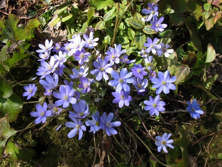 Hepatica, a family of Ranunculaceae photo
