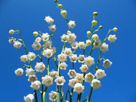 Flowering lily May (Convallaria majalis) against the blue sky Stock Photo - 13915891