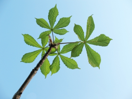 splayed: Barrel with a young chestnut leaves against the sky