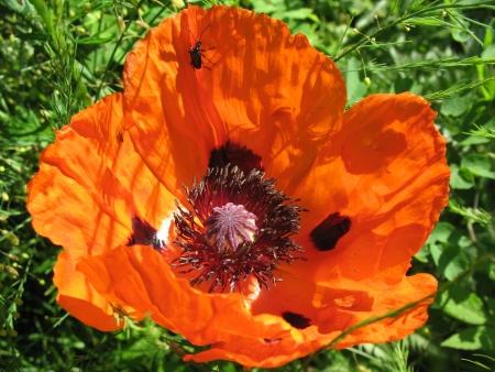 oriental poppy: Oriental poppy (Papaver orientale) in the garden Stock Photo