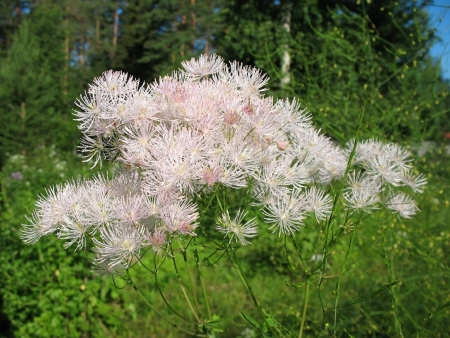perianth: Meadow-rue (Thalictrum aquuigelifolium) in the garden