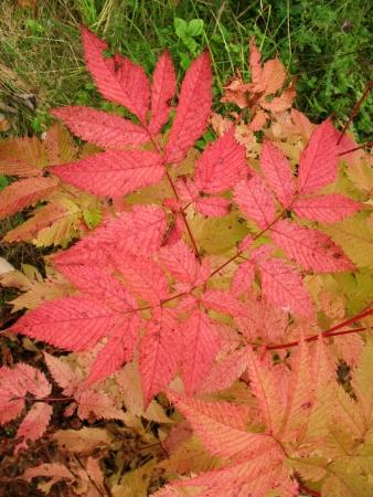apical: Autumn leaves aruncus dioicus Stock Photo