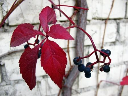 girlish: Quinata girlish grapes or grape Virginia (Parthenocissus quinquefolia) fall